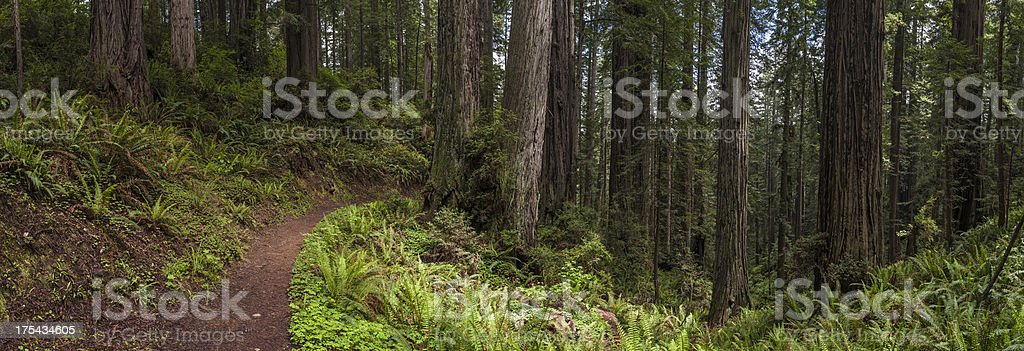 Sequoia sempervirens Giant Redwood forest trail panorama stock photo