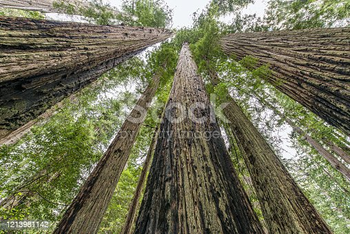 Sequoia sempervirens  is the sole living species of the genus Sequoia in the cypress family Cupressaceae (formerly treated in Taxodiaceae). Common names include coast redwood, California redwood, and giant redwood.  Del Norte Coast Redwoods State Park; Redwood National Park