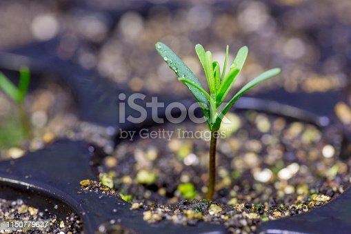 California Redwoods seedling