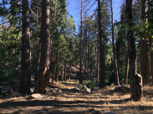 Sequoia Series 4 - Forest Tableau stock photo