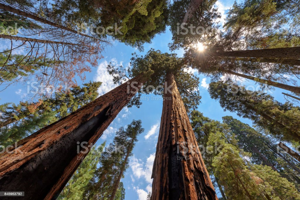 Árvore de sequoia, subindo para o céu - foto de acervo