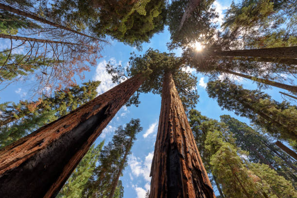 Sequoia Tree rising to the sky Wide-angle view of famous giant sequoia trees, known as giant redwoods or Sierra redwoods, on a beautiful sunny day with blue sky and clouds in summer, Sequoia National Park, California, USA. redwood tree stock pictures, royalty-free photos & images