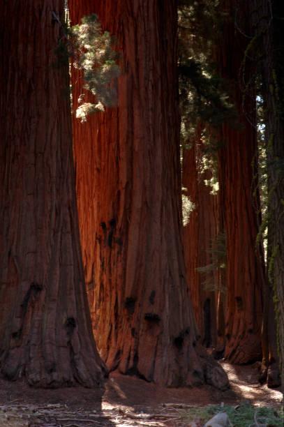Sequoia Tree Trunks in California stock photo
