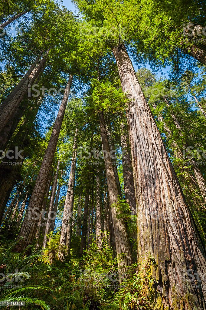 Sequoia tree wilderness in cloud forest Redwood National Park California stock photo