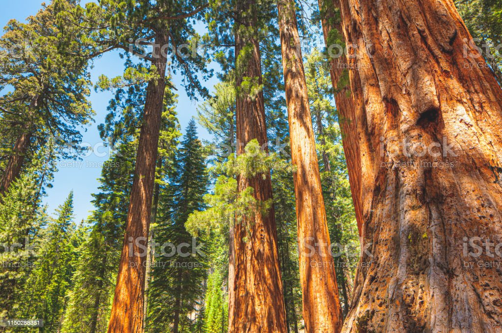 Sequoia Trees In Redwood National Park California Stock ...