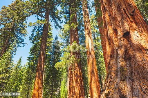 Sequoia trees in Redwood National Park, California