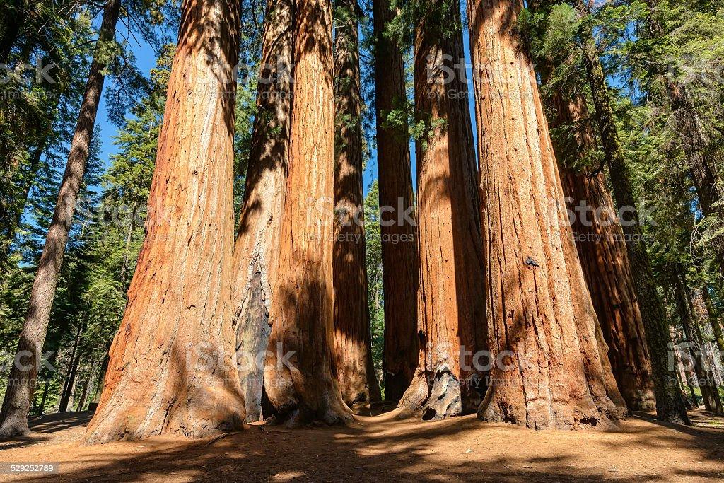 Sequoia trees in Sequoia National Park, California stock photo