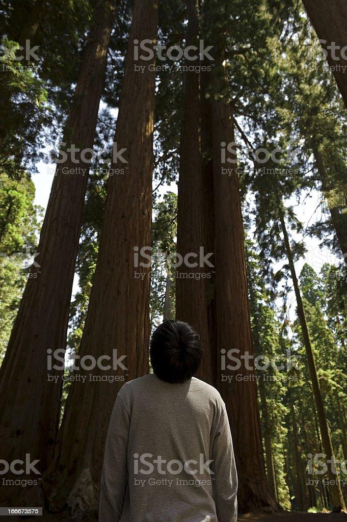 Sequoia Trees stock photo