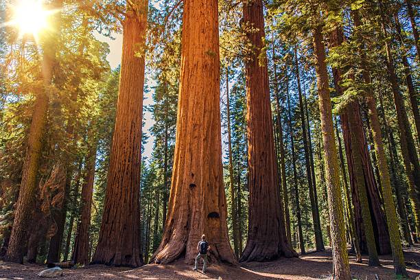 sequoia vs man - national park stock pictures, royalty-free photos & images
