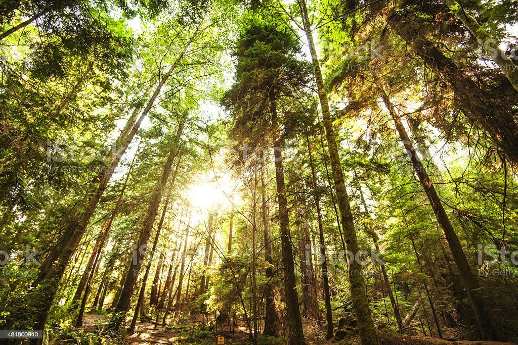 Sequoia woods stock photo