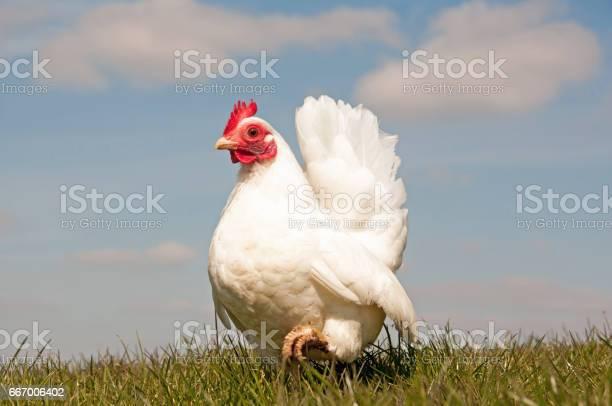Photo of Serama hen