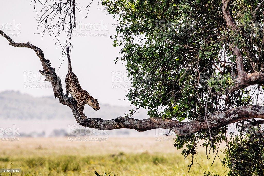 Serengeti Leopard Tightropes Tree Branch stock photo