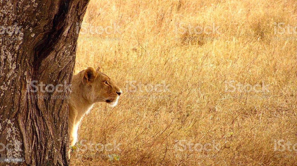 Serengeti Lioness stock photo