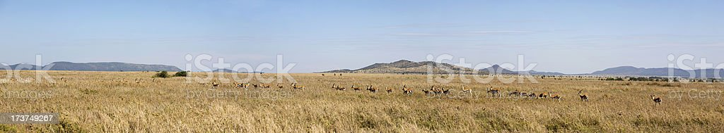 Serengeti migration, panorama. stock photo