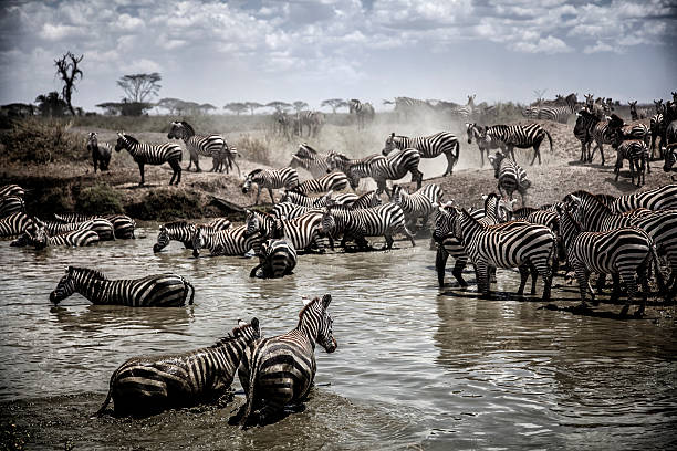 Serengeti Migration stock photo