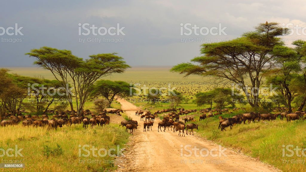 Serengeti plains Tanzania Africa wildebeest migration animals wildlife safari trees road grass Serengeti plains Tanzania Africa wildebeest migration animals wildlife safari trees road grass Africa Stock Photo