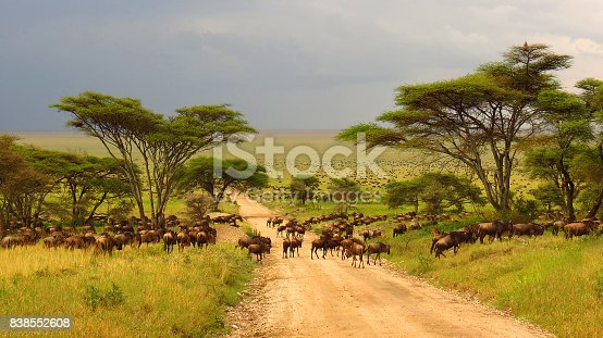 istock Serengeti plains Tanzania Africa wildebeest migration animals wildlife safari trees road grass 838552608