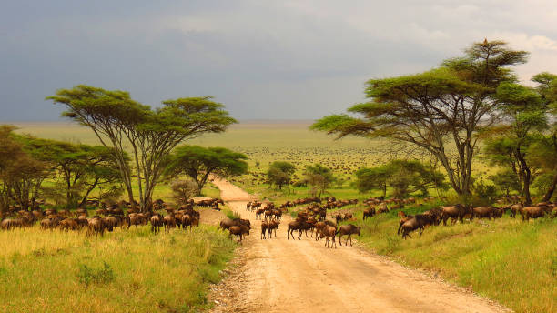 Serengeti plains Tanzania Africa wildebeest migration animals wildlife safari trees road grass Serengeti plains Tanzania Africa wildebeest migration animals wildlife safari trees road grass kruger national park stock pictures, royalty-free photos & images