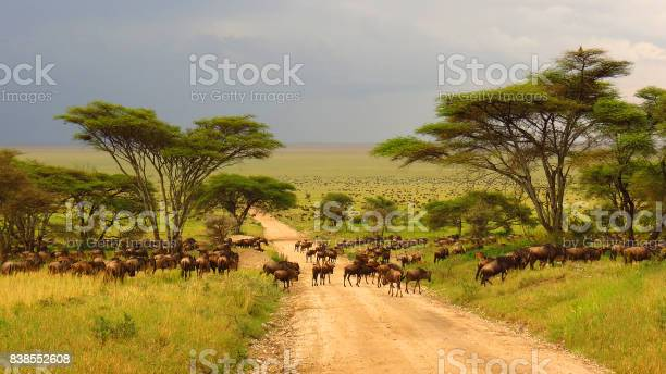Serengeti Plains Tanzania Africa Wildebeest Migration Animals Wildlife Safari Trees Road Grass Stock Photo - Download Image Now