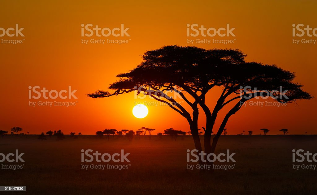 Serengeti Sunrise, Acacia Tree in Africa stock photo