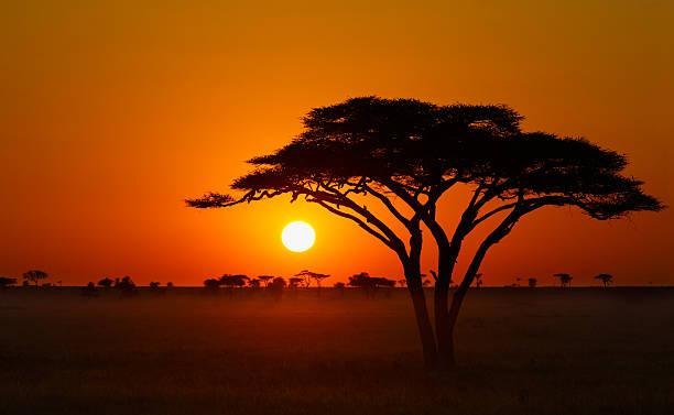 serengeti sunrise, acacia tree in africa - 平原 個照片及圖片檔