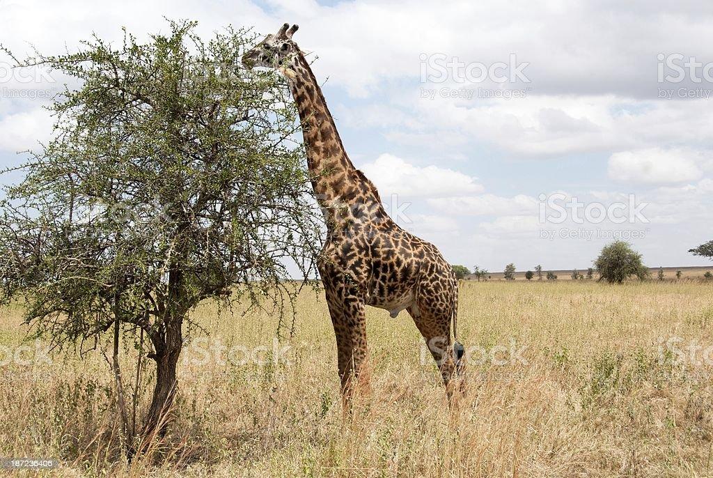 Serengeti Wildlife royalty-free stock photo
