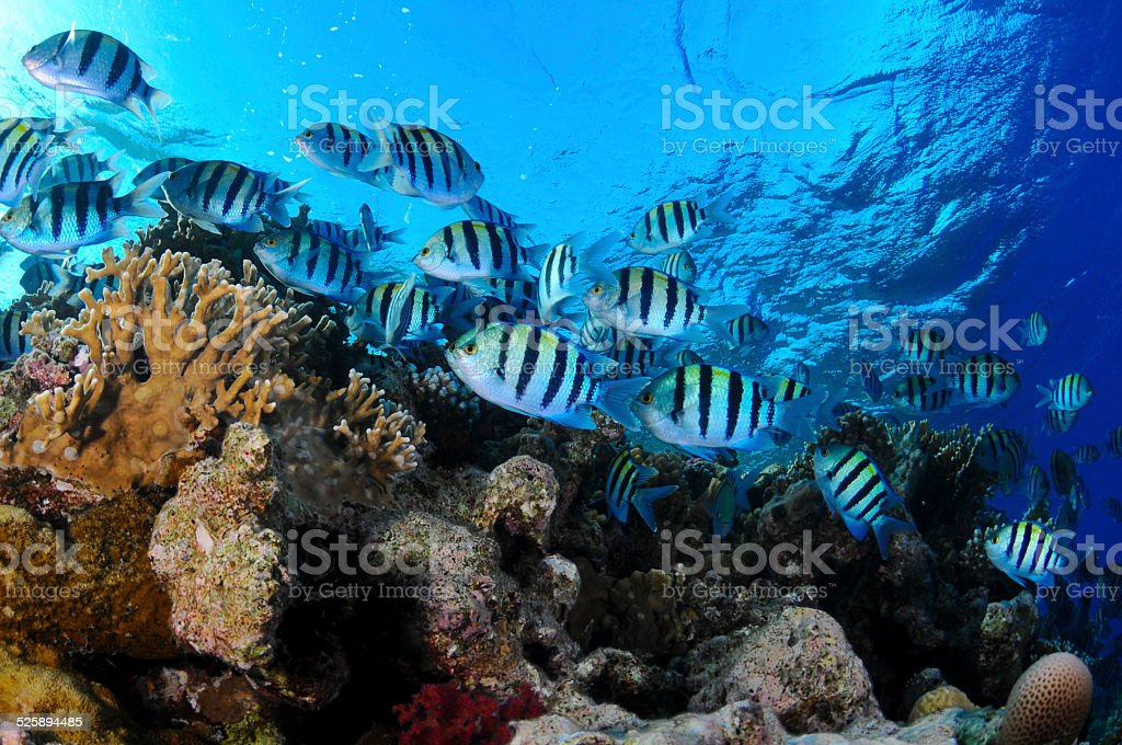 Sergant fish and Coral reef stock photo