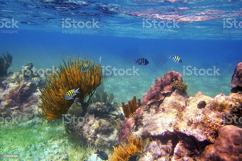 Sergeant Major fishes in caribbean reef Mexico stock photo