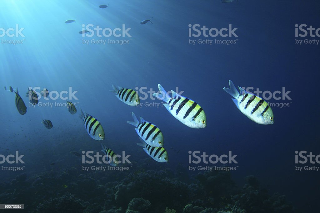 Sergeant Major Fishes - Royalty-free Backgrounds Stock Photo