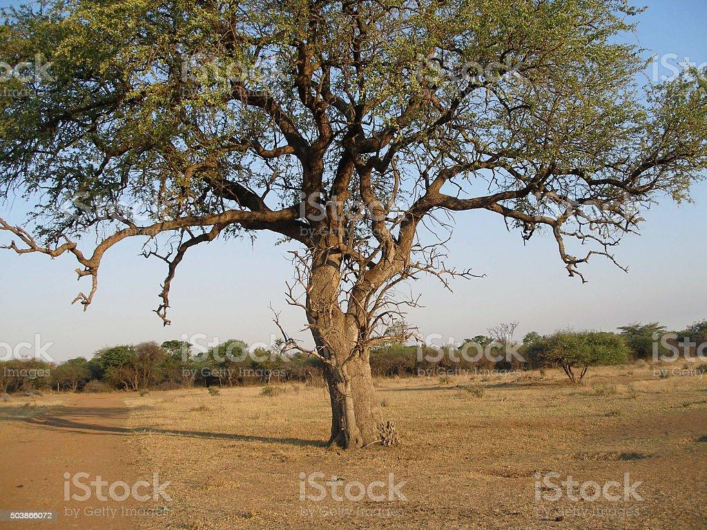 Series - big tree on barren bushfeld farm stock photo