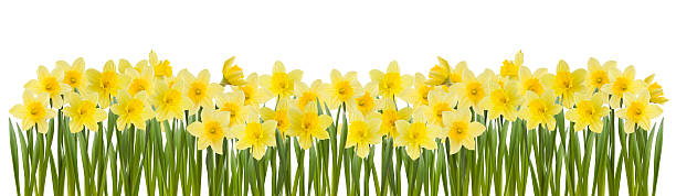 Series of yellow daffodils in white background stock photo