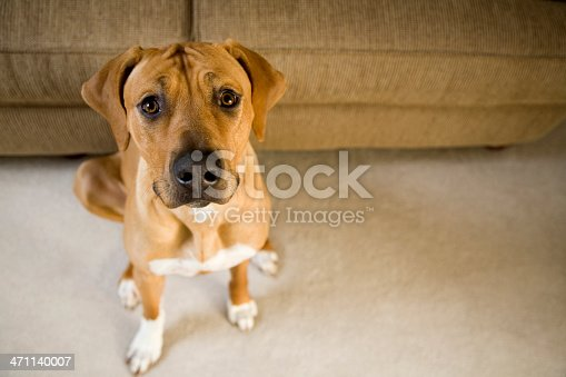 A Rhodesian Ridgeback dog sitting next to a couch looking at camera. Shallow DOF. Cannon 5D processed from RAW.