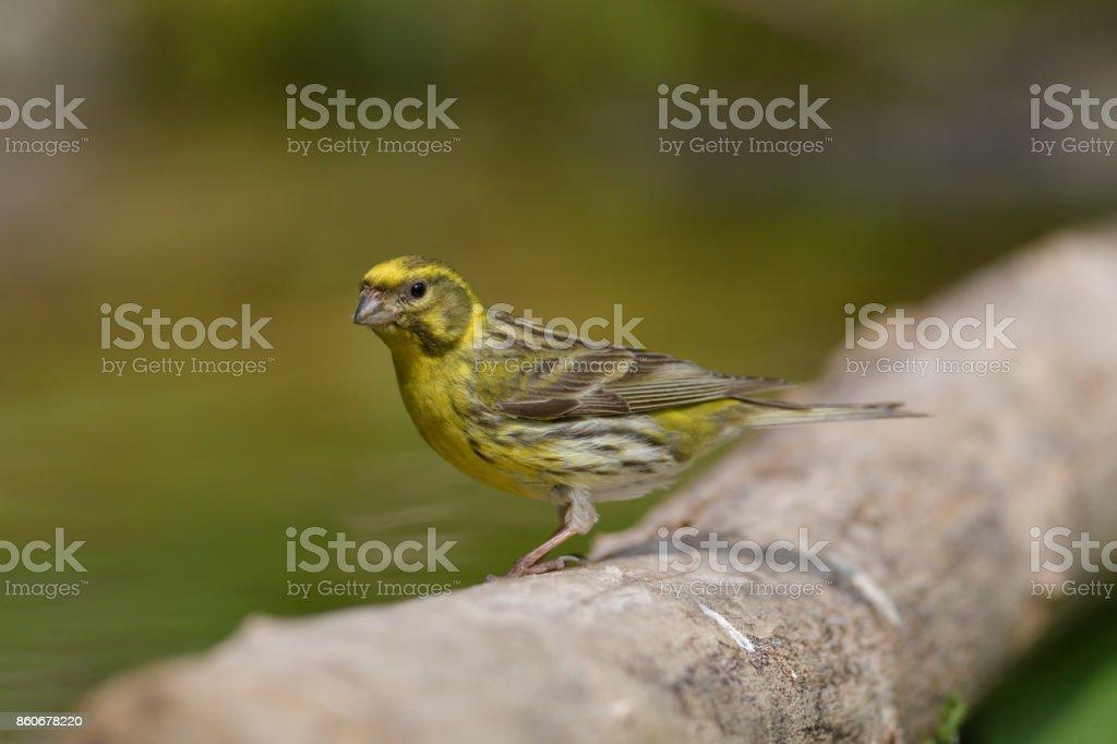 Serin (Serinus serinus) Serin (Serinus serinus) Bird Stock Photo