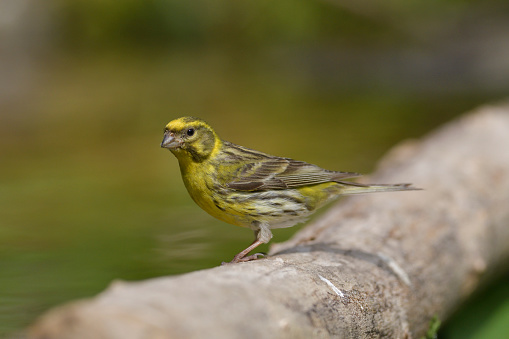 Serin Stock Photo - Download Image Now