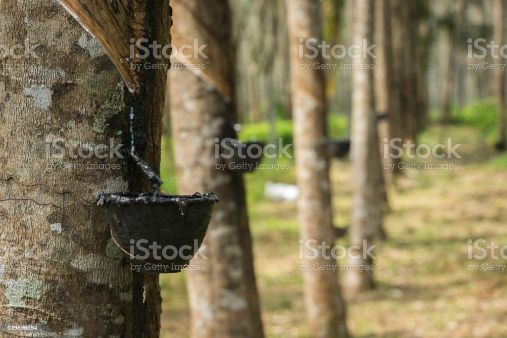 seringa trees with bowls for rubber stock photo