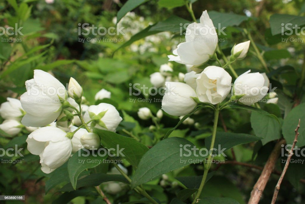 Seringat in bloom  Spring flowers - Royalty-free Aromatherapy Stock Photo