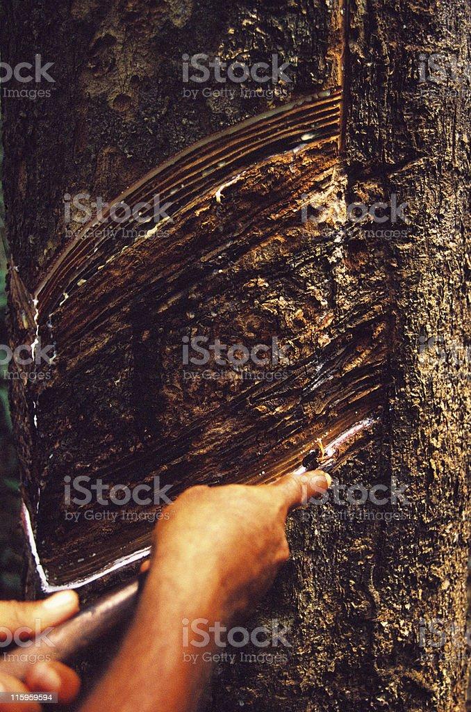 Seringueira, the rubber-tree royalty-free stock photo
