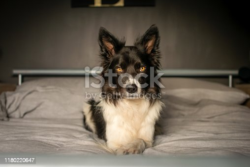 Serious Border Collie Relaxing on Grey Bed