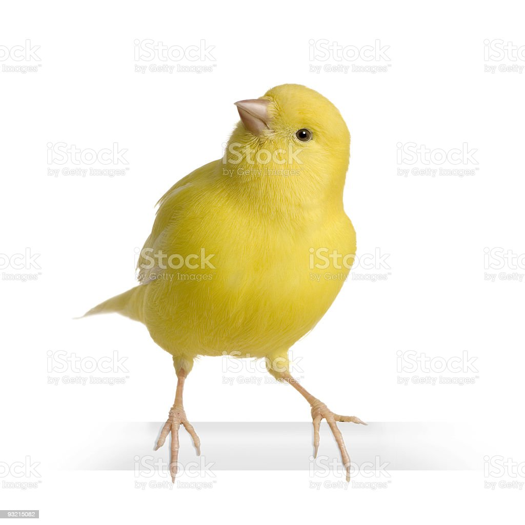 Serious canaria, yellow canary, on perch isolated stock photo
