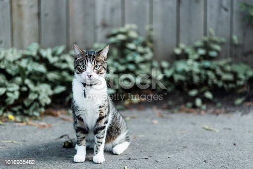 istock Serious cat looking at camera 1016935462
