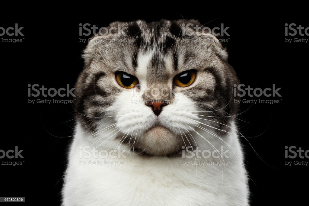 serious cat of scottish fold breed on isolated black background stock photo
