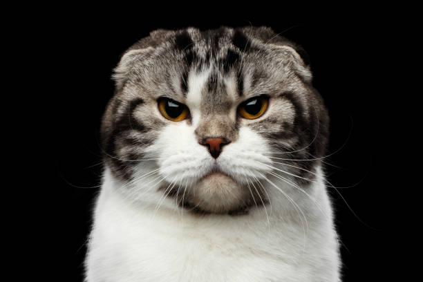 serious cat of scottish fold breed on isolated black background stock photo