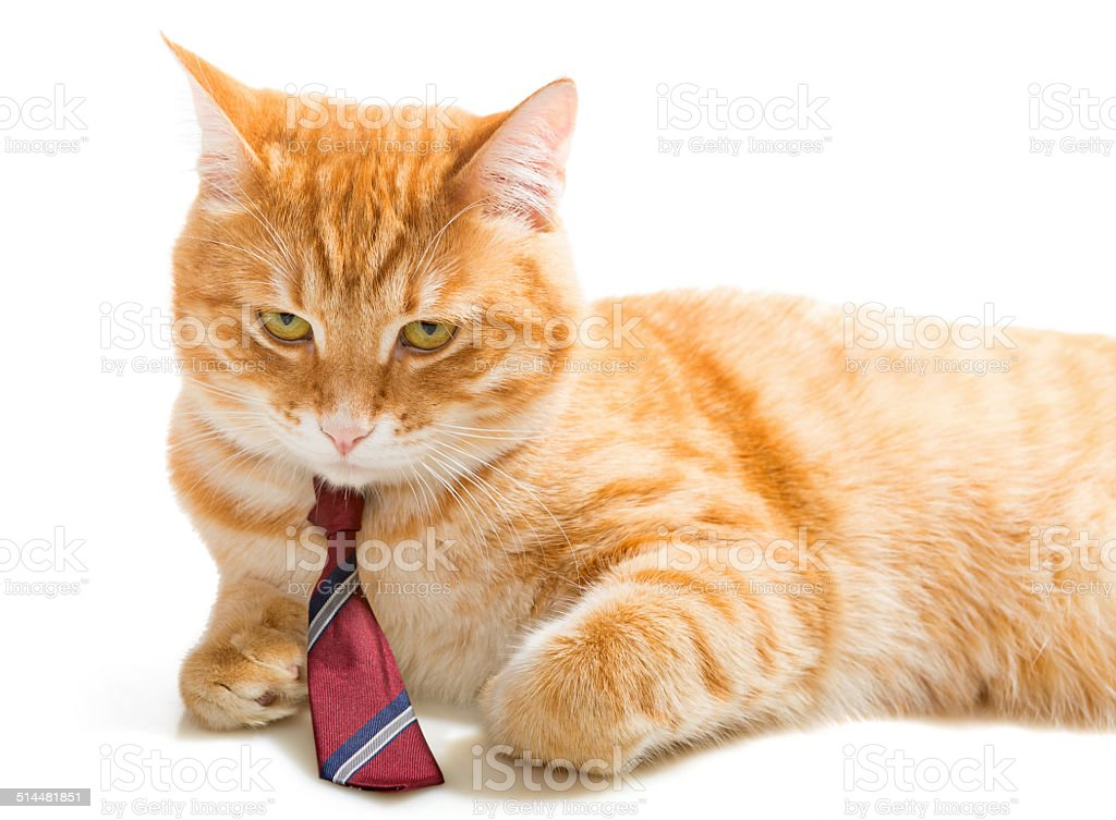 Serious  cat with a  tie stock photo