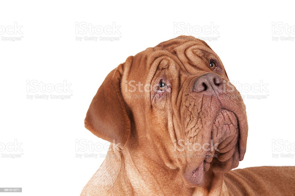 serious dog de bordeaux royalty-free stock photo