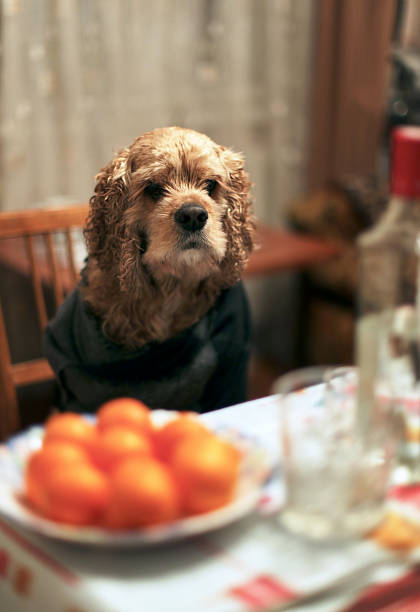 Serious dog sitting at the table stock photo