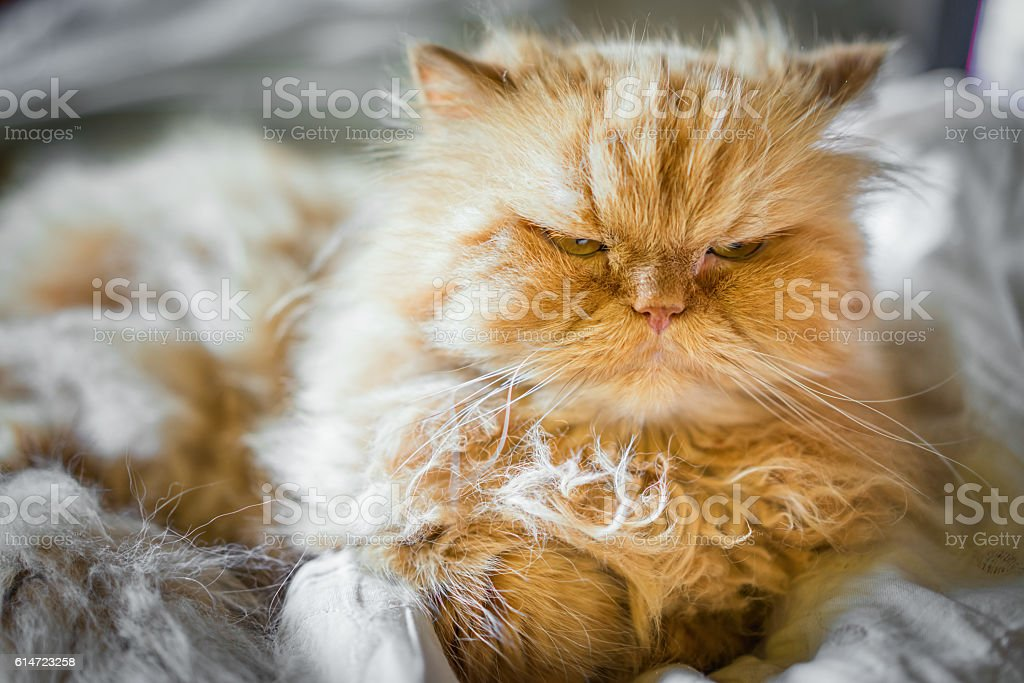 serious ginger persian cat on bed stock photo