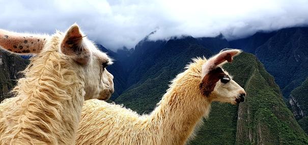 Serious llamas on the Machu Picchu mountain