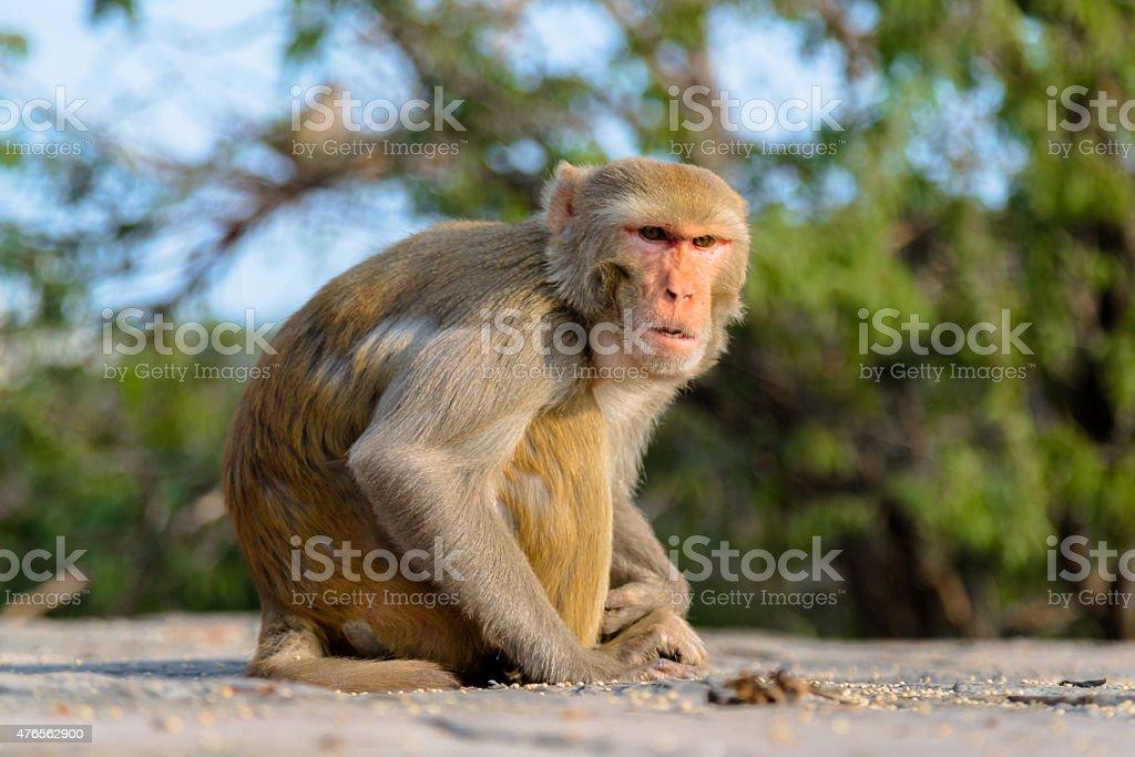 Serious Monkey at Jaipur stock photo