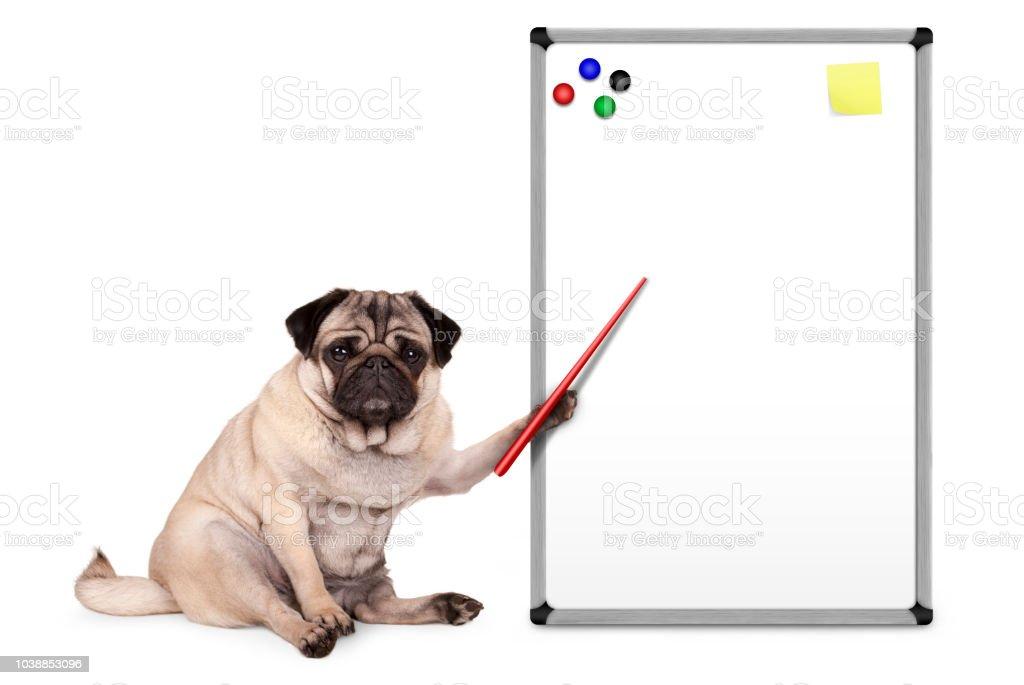 ernstige pug puppy hondje zitten, wijzend op lege leeg wit bord met gele notities en magneten foto