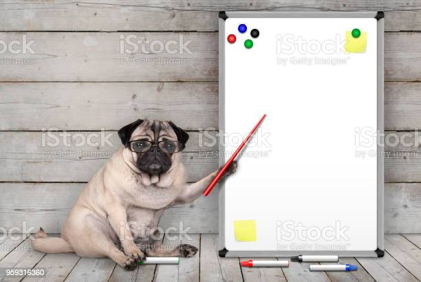 Serious pug puppy dog sitting down pointing at blank white board with picture id959316360?b=1&k=6&m=959316360&s=612x612&h=u2mmjsofme  0wukggsuv9on6lor2cprlzqw23wees4=